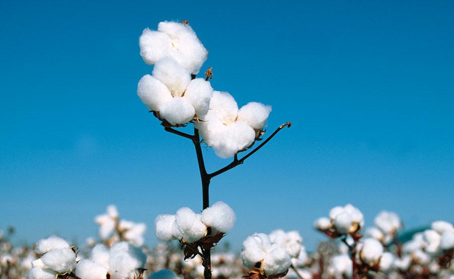 奇跡の大地に育まれた、希少な綿花。